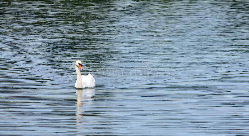 Male Mute Swan swimming on rippled water stock photography