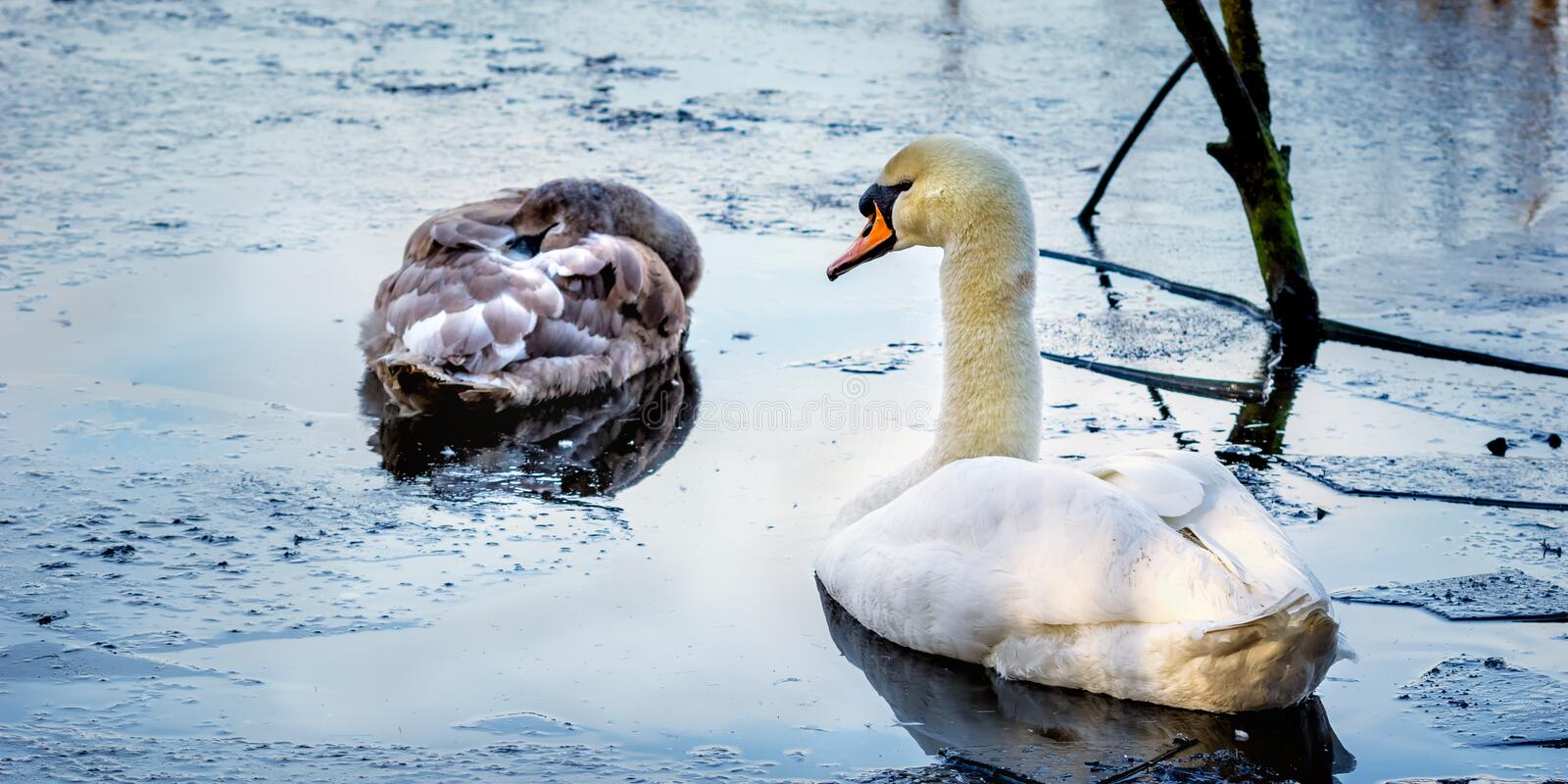 A male mute swan watches over his young offspring, on a cold icy pond early one morning royalty free stock image