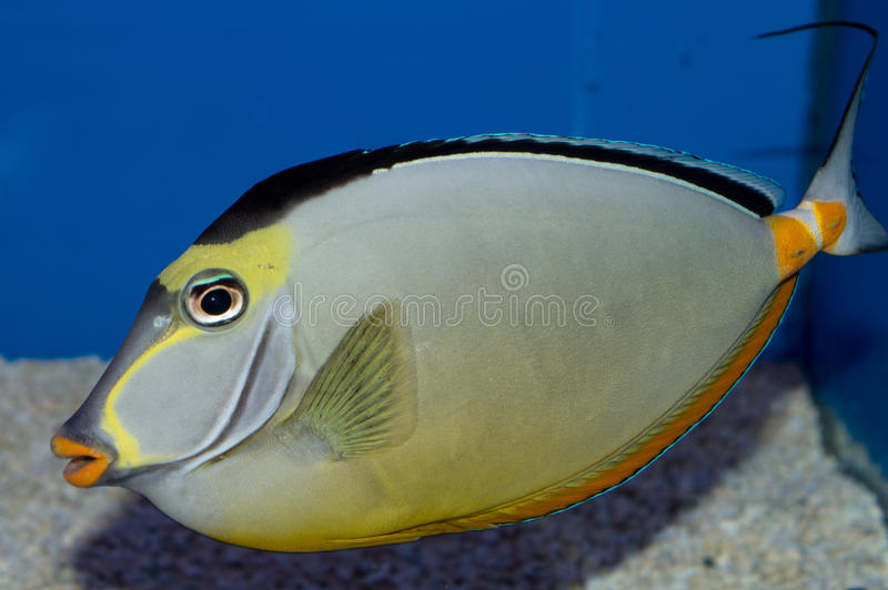 Male Naso Tang. The Naso Tang, also known as the Orangespine Unicornfish, darkens with maturity. Naso Tangs from Hawaii are often more brightly colored than royalty free stock photo