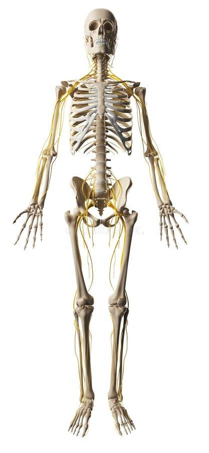Male nerve system royalty free illustration
