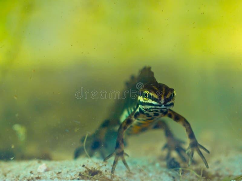 Male Newt Stock Image