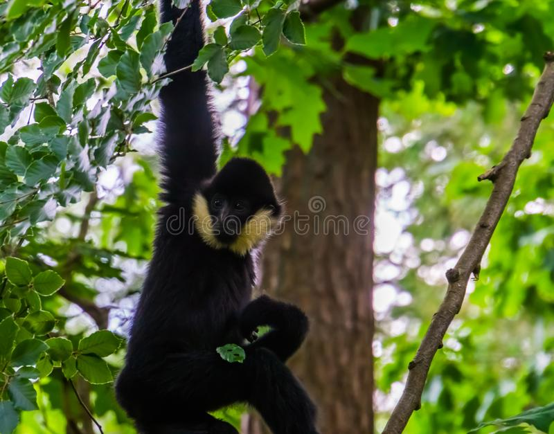 Male norther white cheeked gibbon hanging in a tree, critically endangered animal specie from Asia. A Male norther white cheeked gibbon hanging in a tree royalty free stock images