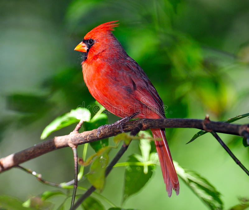 Male Northern Cardinal. Perched On Branch