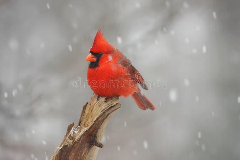 Male Northern Cardinal (cardinalis cardinalis). In a snow storm stock image