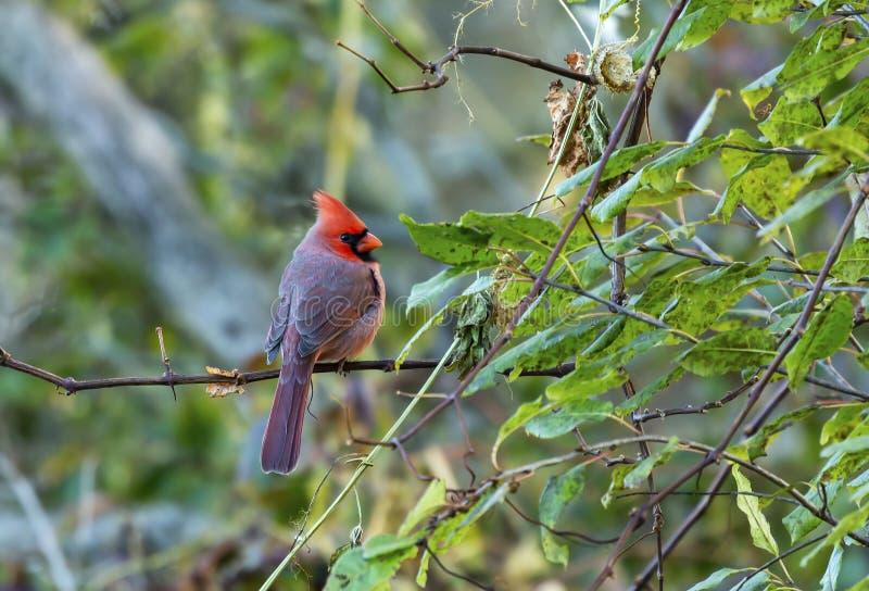 Male Northern cardinal - Cardinalis cardinalis. Northern cardinal - Cardinalis cardinalis perched on the branch tree.Evening autumn stock images
