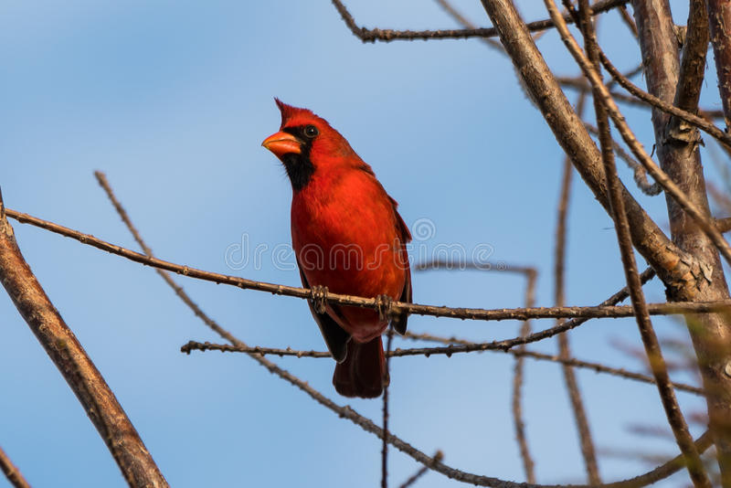 Male northern cardinal (Cardinalis cardinalis). Male northern cardinal perched on a tree limb. Davie, Florida, United States stock photo