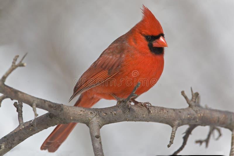 Male Northern Cardinal, Cardinalis cardinalis, resting in tree. A Male Northern Cardinal, Cardinalis cardinalis, resting in tree stock photo