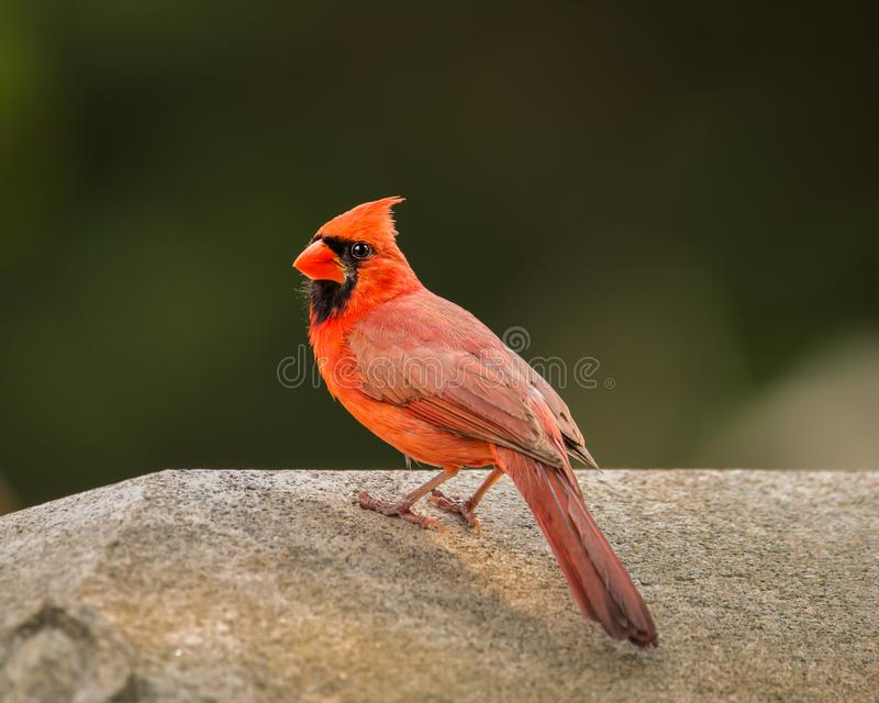 A male Northern Cardinal poses for the camera stock photos