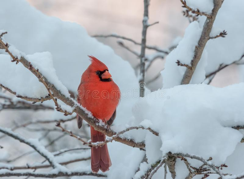 Male Northern Cardinal in a snow and ice covered tree. Bright red Cardinal perched in a snow covered tree during winter in Pennsylvania royalty free stock image