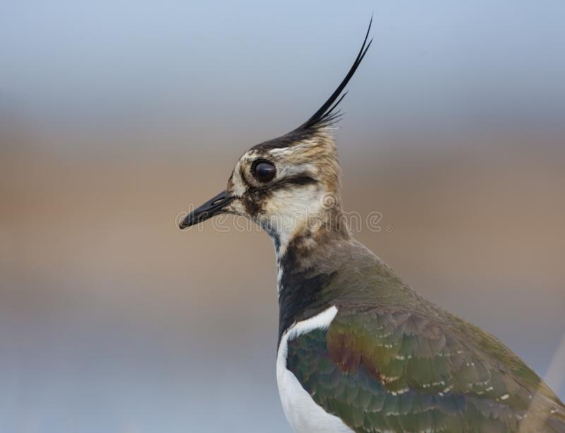 Male Northern lapwing head portrait with detailed plumage from short distance royalty free stock images