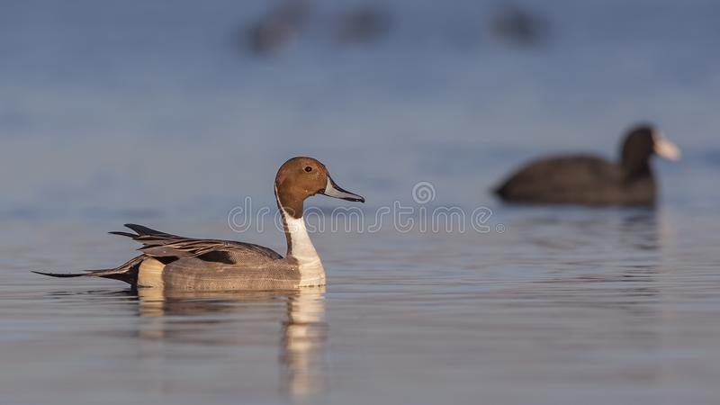 Northern Pintail With Common Coot. Male northern pintail Anas acutaon is swimming on clear blue sea with blurred common coot on background stock image