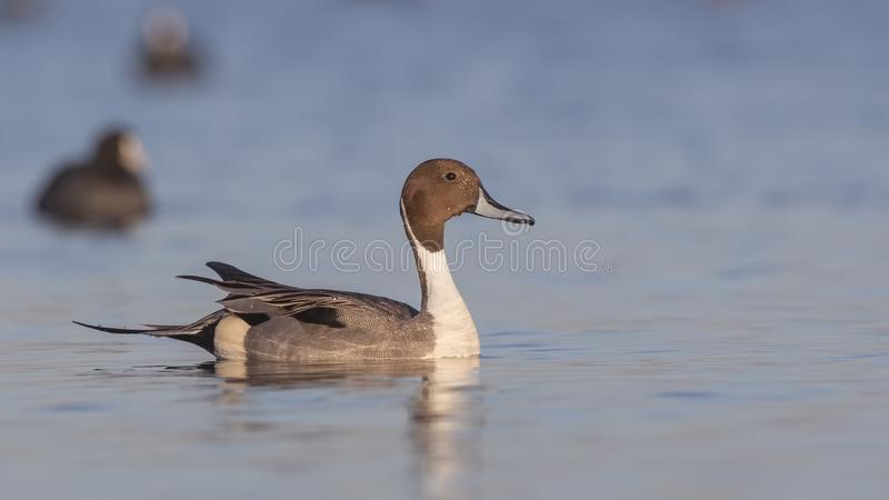 Northern Pintail Among Common Coots. Male northern pintail Anas acutaon is swimming among common coots on clear blue sea royalty free stock photography