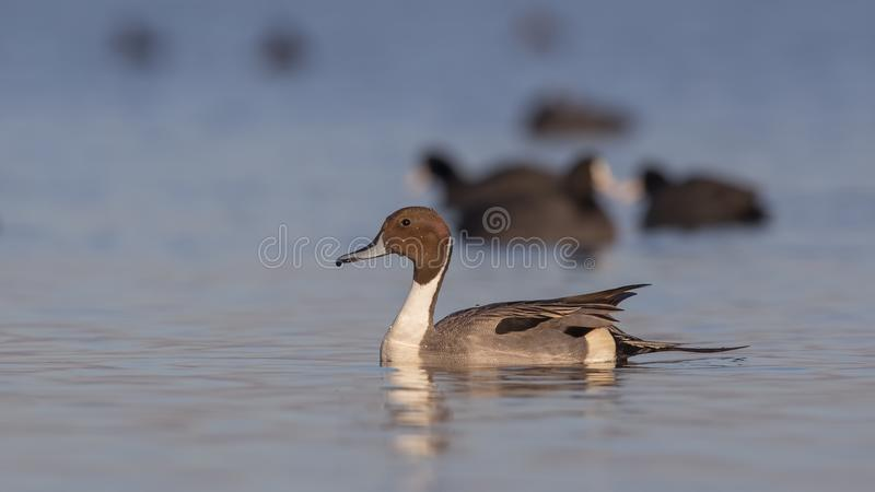 Northern Pintail On Clean Sea. Male northern pintail Anas acutaon is swimming left on clear blue sea royalty free stock photos