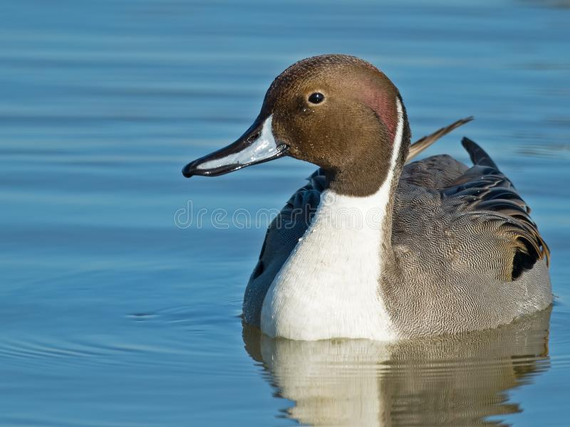 Male Northern Pintail Duck. Male Northern Pintail floating in the water royalty free stock photos