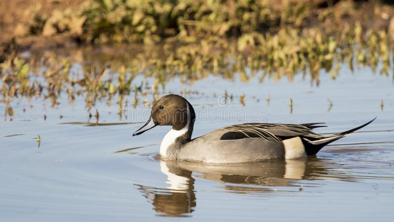 Male northern pintail. At Gilbert Water Ranch in Gilbert Arizona royalty free stock image