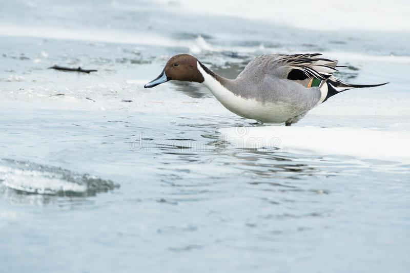 Northern Pintail. Male Northern Pintail standing in the shallow water amongst the ice. Tommy Thompson Park, Toronto, Ontario, Canada royalty free stock photography