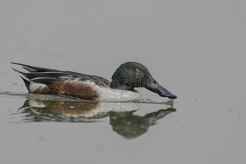 Male Northern Shoveler Anas clypeata Swimming In A Lake. This species is unmistakable in the northern hemisphere due to its large spatulate bill. The breeding royalty free stock photo