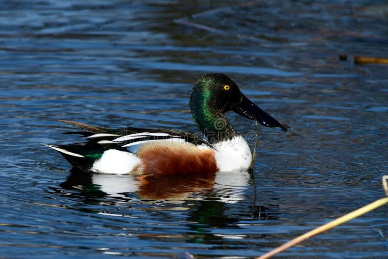 A Male Northern Shoveler. This is an early Spring picture of a male Northern Shoveler on the South Pond in Lincoln Park located in Chicago, Illinois in Cook stock photo