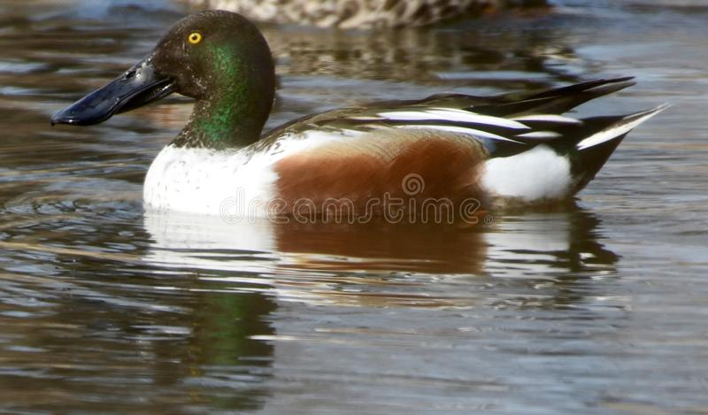 Male Northern Shoveler. This is an early Spring picture of a male Northern Shoveler on the South Pond in Lincoln Park located in Chicago, Illinois in Cook County royalty free stock photos