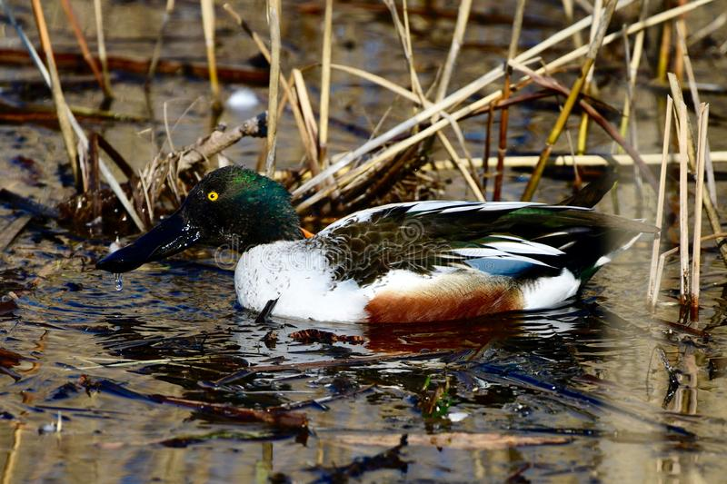 Male Northern Shoveler in the Weeds. This is an early Spring picture of a female Northern Shoveler in the weeds on the South Pond in Lincoln Park located in stock images