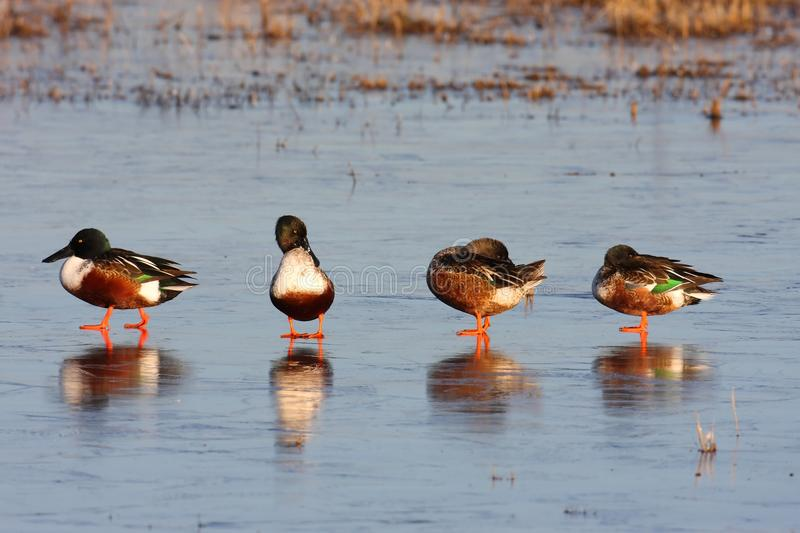 Male Northern Shovelers (Anas Clypeata) Royalty Free Stock Photography