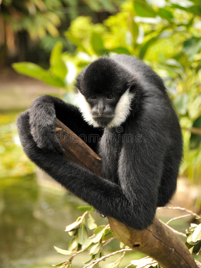 Male Northern white-cheeked gibbon. Is sitting on a branch and posing for the camera stock photo