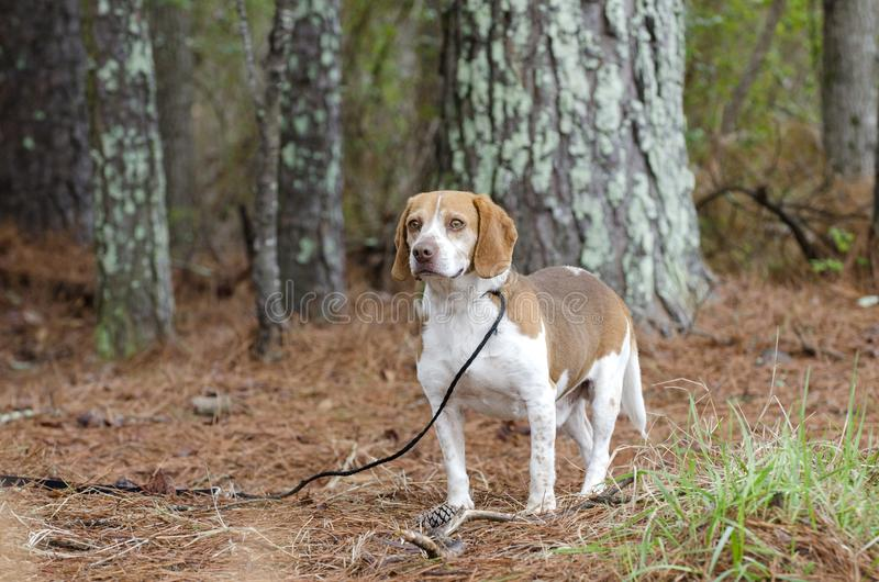 Beagle rabbit hunting dog, Georgia. Male not neutered male tan and white Beagle hound dog with floppy ears, panting tongue. Photographed for Walton County Animal stock images