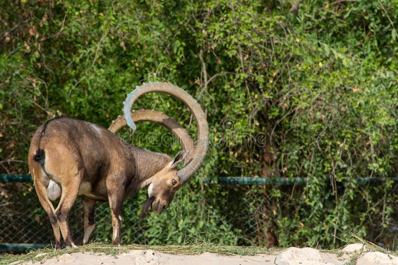A male Nubian Ibex eating showing off those large curved horns capra nubiana at the Al Ain Zoo in the evening sun.  stock photography