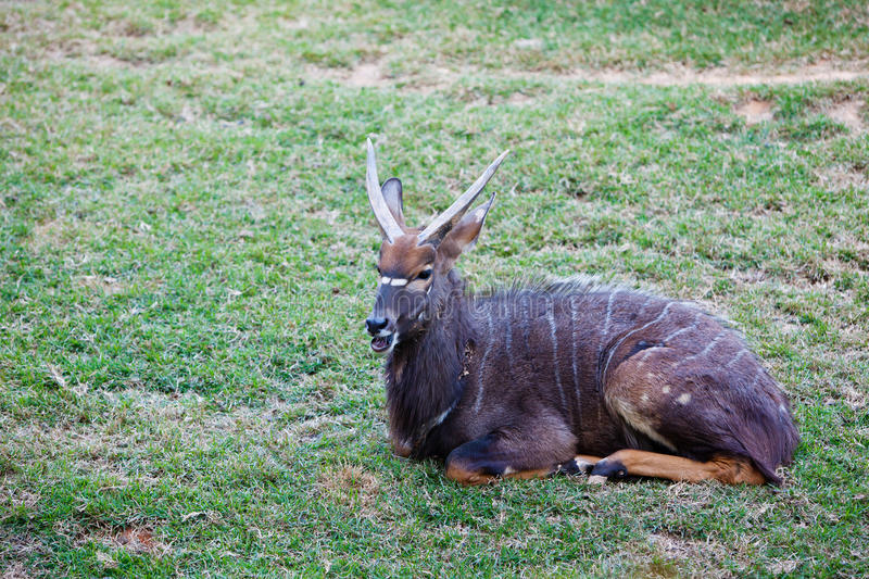 Download Male nyala stock photo. Image of nyala, tragelaphus, stripe - 22393310