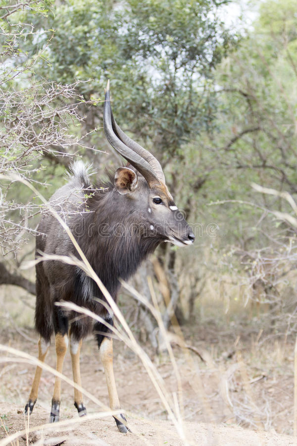 Free Male Nyala Royalty Free Stock Images - 62382539