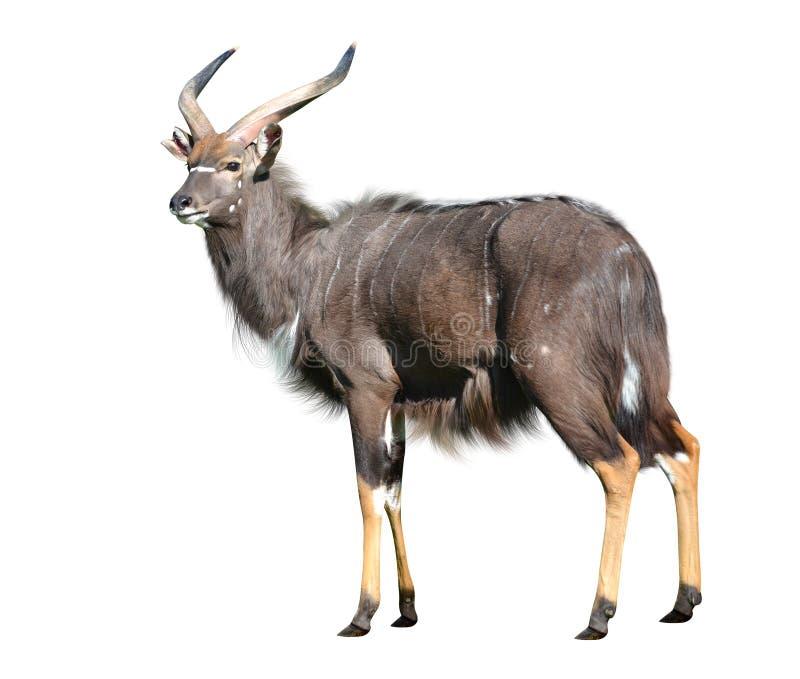 Male Nyala antelope stock photos
