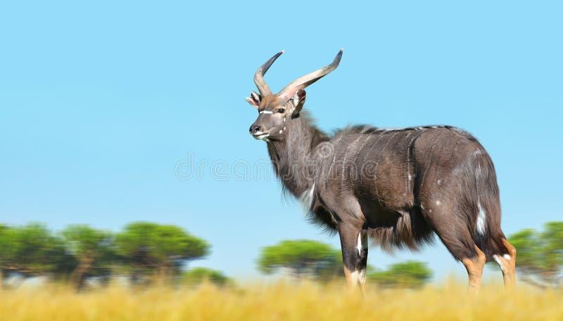 Male Nyala antelope. stock photo