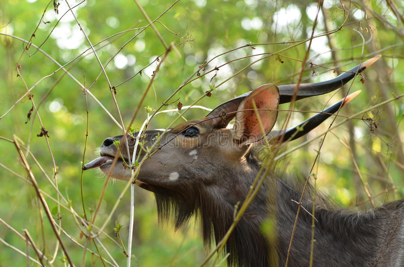 Male nyala royalty free stock photos