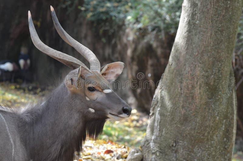 Male Nyala Near Tree Stock Photo