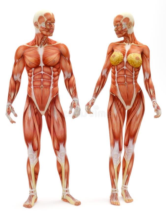 Male och kvinnligt musculoskeletal system stock illustrationer