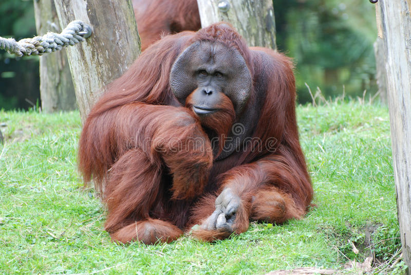 Male Orang Utan - sitting and staring at a Zoo. Male Orang Utan, sitting and staring in green grass. Made in Zoo Apenheul Netherlands royalty free stock photos