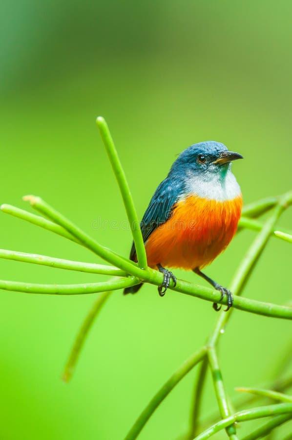A male Orange-bellied Flowerpecker is perching on green branch royalty free stock images