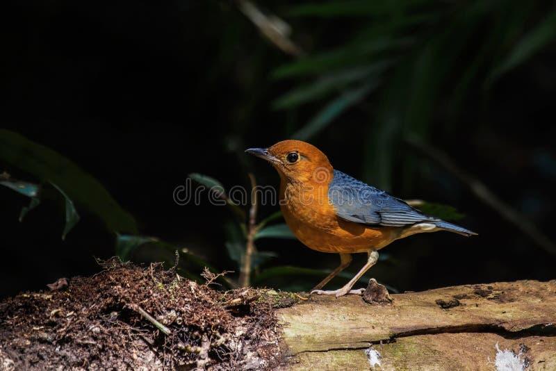 Male orange headed thrush royalty free stock photo