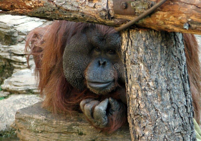 Male Orangutan royaltyfria bilder