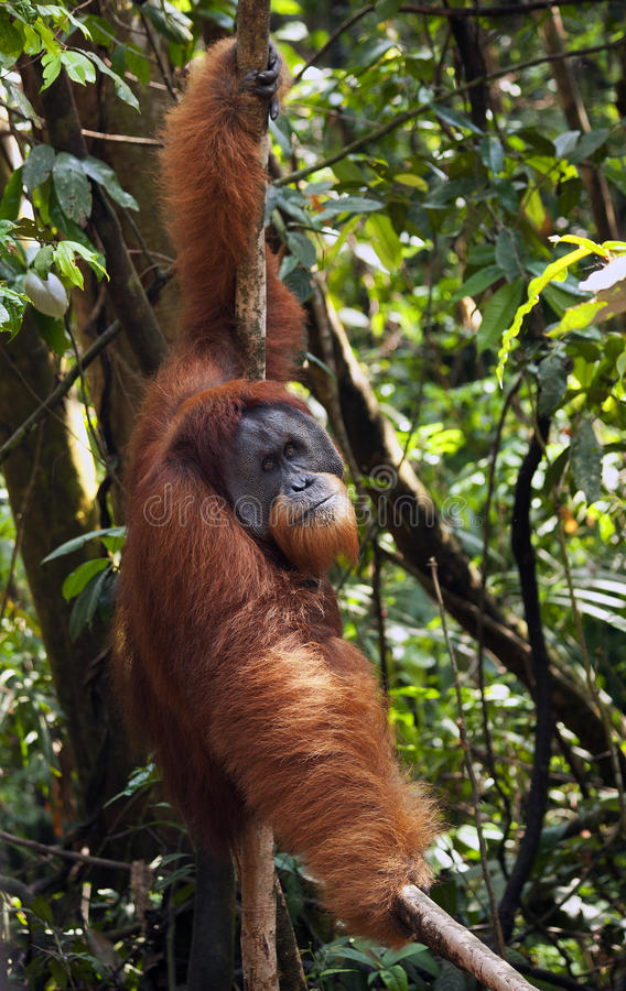 Male Orangutan royaltyfri bild