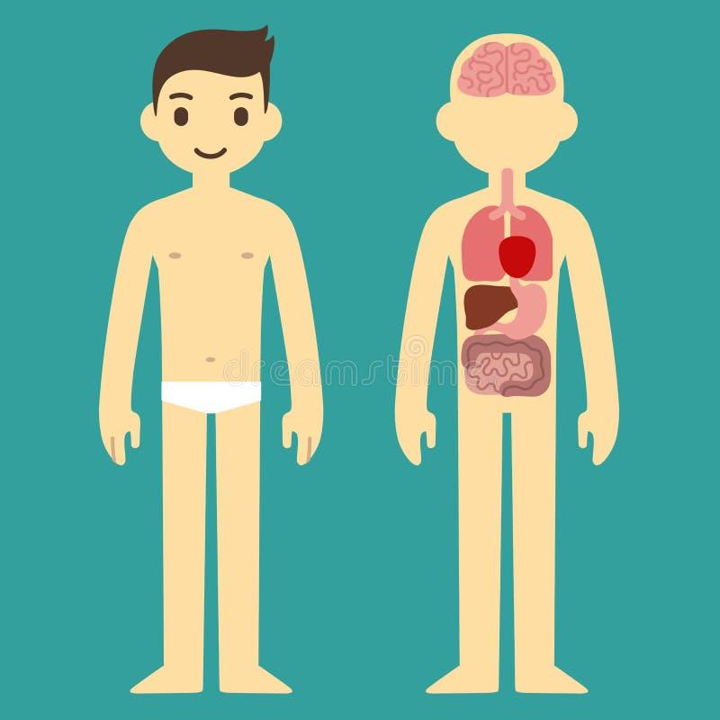 Male organ chart. Human internal organ infographic chart of a stylized cartoon man vector illustration