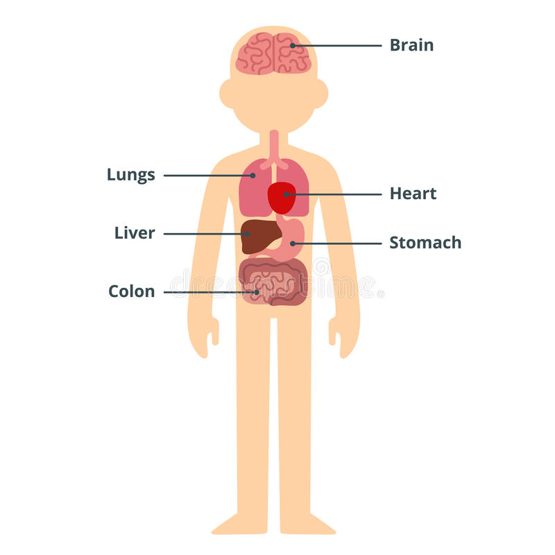 Male organ chart. Human internal organ infographic chart with text captions vector illustration