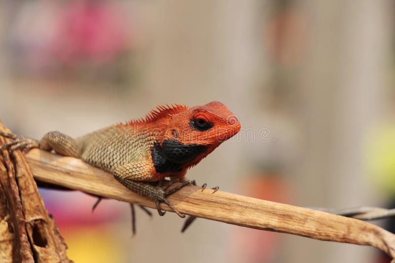 Male Oriental garden lizard sits on the dry branch royalty free stock photo