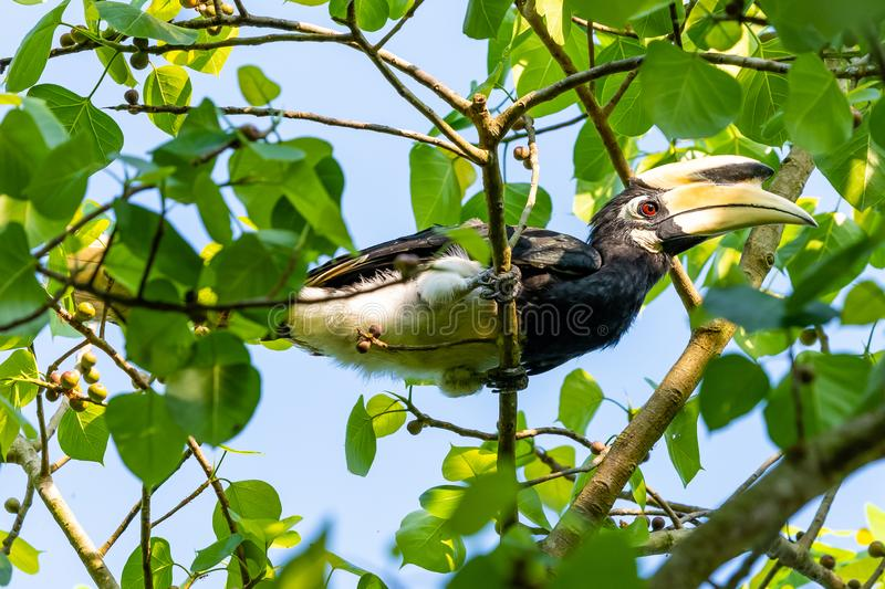 Male Oriental Pied Hornbill perching on Bo tree perch feeding on its fruit. Kuiburi, Thailand royalty free stock photography