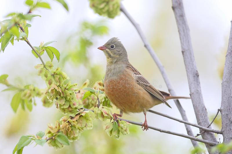 The male ortolan bunting in breeding  plumage royalty free stock photo