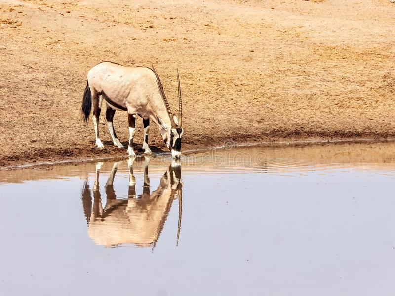 A male oryx drinking at a waterhole during the dry season in Namibia. A solitary adult male oryx oryx gazella standing at the edge of a waterhole drinking water stock photography