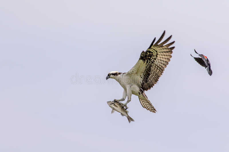 Male Osprey being chased by a red winged blackbird royalty free stock photo