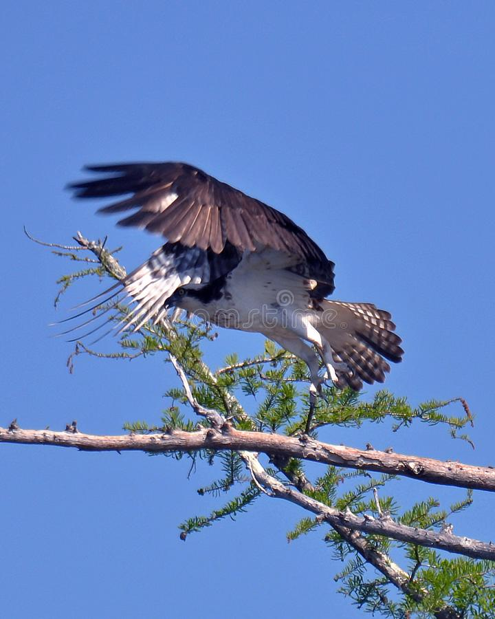 Male Osprey on Lake Aliceville in Alabama, Photo 3. A male osprey, also known as a fish hawk, takes flight near its nest. This specimen was photographed in royalty free stock photo