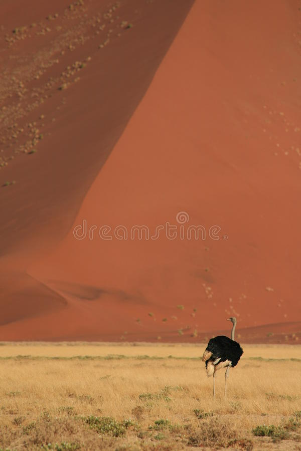 Download Male ostrich stock photo. Image of desert, nature, landscape - 11455736