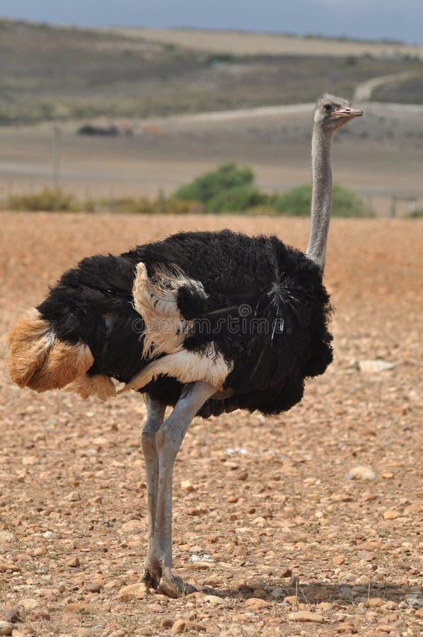 male ostrich arkivbild